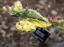 O Opuntia vulgar é uma espécie de cacto que tem sido por muito tempo uma planta de colheita domesticada fotografia de stock