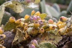 O Opuntia vulgar é uma espécie de cacto que tem sido por muito tempo uma planta de colheita domesticada importante no throughou a imagem de stock