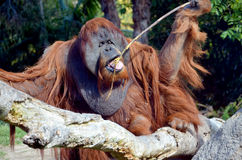 O orangotango foto de stock