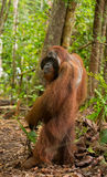 O orangotango está em seus pés traseiros na selva indonésia A ilha de Kalimantan Bornéu Fotografia de Stock