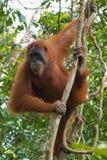 O orangotango peludo adulto está pronto para mover-se do ramo para ramificar BO imagens de stock