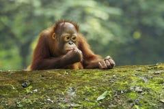 O orangotango Utan do bebê está comendo Fotografia de Stock