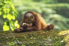 O orangotango Utan do bebê está comendo refeições Imagem de Stock Royalty Free