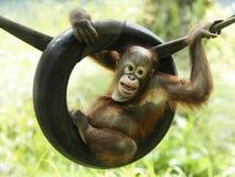O orangotango Utan do bebê está jogando com expressão Imagens de Stock Royalty Free