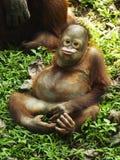 O orangotango Utan do bebê está jogando com expressão Foto de Stock