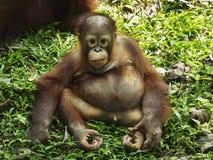 O orangotango Utan do bebê está olhando Imagem de Stock