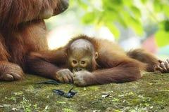 O orangotango Utan do bebê está tomando um resto Fotos de Stock