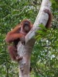 O orangotango vermelho forte senta-se em uma árvore e na vista reto & x28; Kumai, Imagens de Stock