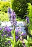 O Orchis comum (militаris de Orchis) é um herbáceo constante Foto de Stock Royalty Free