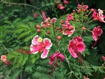 O orgulho cor-de-rosa da flor de Barbados ou de pavão é um absolutamente lindo foto de stock royalty free