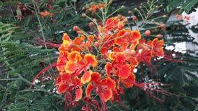 O orgulho de Barbados é cerca fresca e medicinal da flor foto de stock royalty free