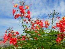 O orgulho de Barbados é cerca fresca e medicinal da flor e céu azul fotografia de stock royalty free