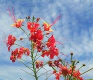 O orgulho de Barbados é cerca fresca e medicinal da flor e céu azul fotos de stock