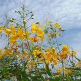 O orgulho de Barbados é cerca fresca e medicinal da flor e céu azul fotos de stock royalty free