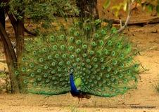 O orgulho do pavão é a glória do deus Fotos de Stock Royalty Free