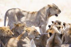 O orgulho dos leões descansa no savana africano Fotografia de Stock Royalty Free