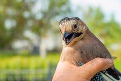 O ornitólogo examina o pássaro travado fotografia de stock royalty free