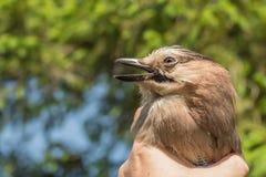 O ornitólogo examina o pássaro travado imagem de stock