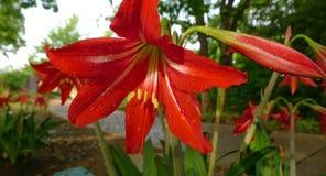 O orvalho cobriu Amaryllis vermelha Imagens de Stock Royalty Free