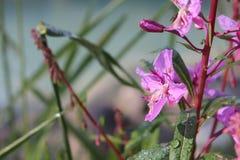 O orvalho cobriu flores da azaléia no sol fotos de stock royalty free