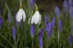 O orvalho cobriu os snowdrops brancos cercados por açafrões roxos Imagens de Stock