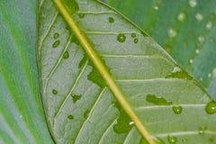 O orvalho na textura verde da folha Fotografia de Stock Royalty Free