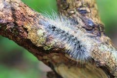 O orvalho peludo da lagarta cobriu e rastejamento na casca Imagens de Stock