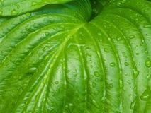 O orvalho verde da mola sae do fundo Fotos de Stock Royalty Free