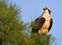 O osprey masculino empoleirou-se no pinheiro com céu azul Imagem de Stock