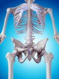 O osso anca ilustração stock