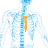 O osso de peito ilustração royalty free