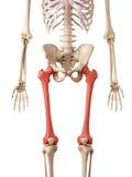 O osso do fêmur Fotos de Stock