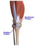 O osso e os ligamentos do joelho Foto de Stock