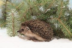 O ouriço curioso na neve escondida sob o abeto ramifica Imagem de Stock Royalty Free