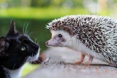 O ouriço e o gatinho obtêm familiares Foto de Stock