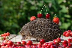 O ouriço novo com cereja e morango nos espinhos entre a baga doce no verde sae do fundo Imagem de Stock