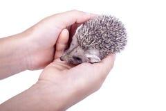 O ouriço pequeno nas mãos Foto de Stock Royalty Free