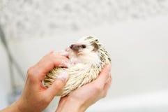 O ouriço africano está nas mãos Fotos de Stock Royalty Free
