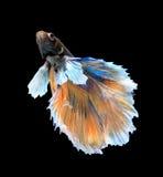 O ouro e a luta siamese azul pescam, os peixes do betta isolados no blac Fotografia de Stock
