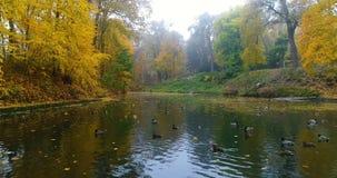 O outono aéreo da floresta do parque que cai as folhas ducks a água da lagoa do lago filme