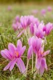 O outono agradável floresce no prado, Colchicum Imagem de Stock Royalty Free
