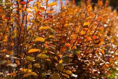 o outono amarelo e o vermelho saem contra o céu azul Fotografia de Stock