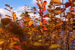 o outono amarelo e o vermelho saem contra o céu azul Fotografia de Stock Royalty Free