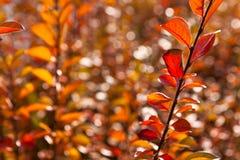 o outono amarelo e o vermelho saem contra o céu azul Imagens de Stock Royalty Free