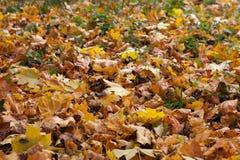 o outono amarelo e o vermelho saem contra o céu azul Imagens de Stock