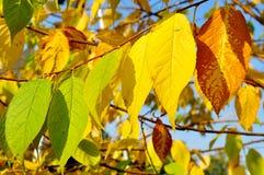 O outono amarelou as folhas da árvore de cereja do pássaro, paisagem ensolarada do outono Foto de Stock