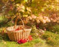O outono bonito Bagas do Viburnum na cesta Fotografia de Stock