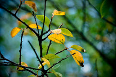 O outono colore o ramo da folha Imagem de Stock Royalty Free