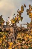 O outono colore a vinha que cresce em um campo em Israel, na frente de um arco-íris bonito imagens de stock royalty free