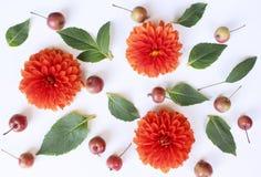 O outono denominou o arranjo botânico A composição de maçãs e de dálias pequenas floresce no fundo branco da tabela Queda imagens de stock
